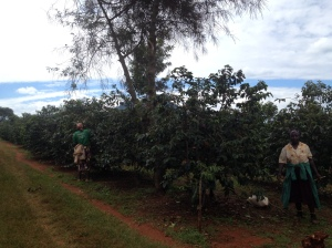 Coffee is picked by women in Kenya