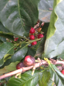 Coffee infested with borer beetle that is increasing due to increased temperatures and humidity