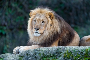 Lions - hunting supports conservation
